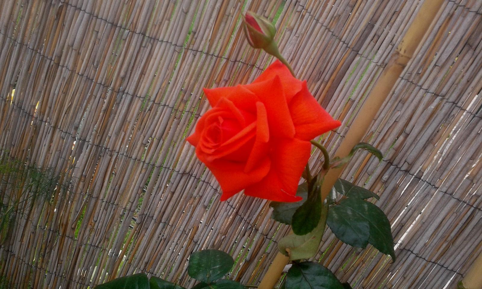 Naše átrium - Popínavá ruža Salita