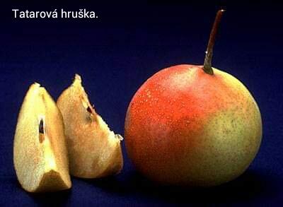 Jarabina hrušková - Tatarová... - Obrázok č. 4