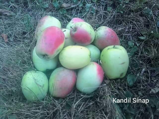 Stará odroda jablone ma... - Obrázok č. 1