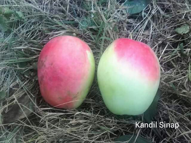 Stará odroda jablone ma... - Obrázok č. 2