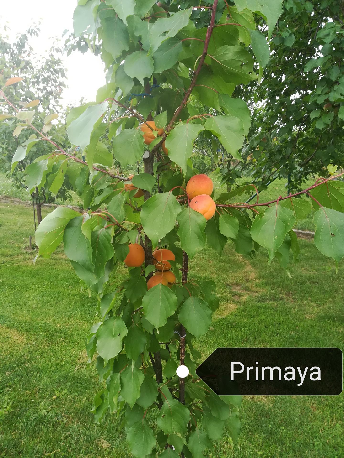 Prvá úroda marhulky Primaya... - Obrázok č. 1