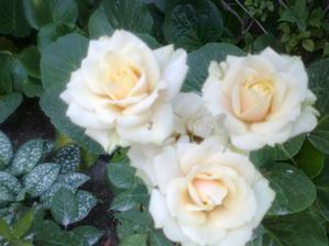 moja najoblubenejsia ruza, konecne sa mi podarilo foto skutocnej farby, je krasna a pri odkvitani sa kvety sfarbuju do zelenkava