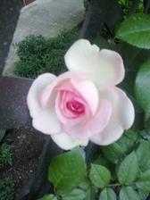 Eden rose-zo dna na den krajsia