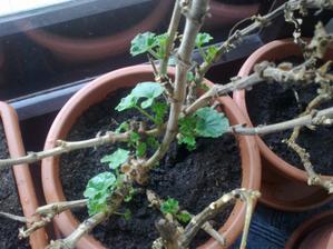 dnes su 2 tyzdne od vysadenia, tento je cerveny a rastie najviac, ostatne su irske ruzickove, zenu krasne tiez, ale pomalsie