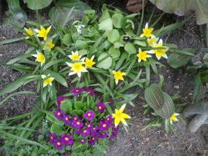 tulipany Tulipa tarda