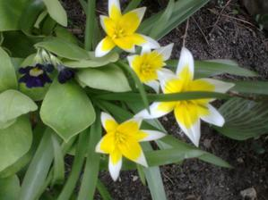 botanicke tulipany Tulipa tarda