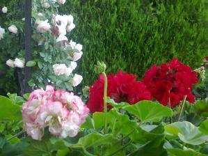 konecne prvy rozkvitnuty ruzickovy muskat
