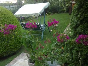 bougenvilea zacina kvitnut