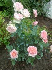 na jednom kricku dve rozne farby kvetov. Je to mozne?