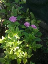 moja uboha hortenzia, iba 3 kvety