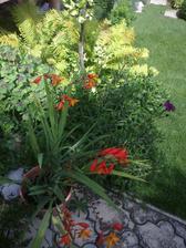 dzungla pod terasou, osteospermum rastie ako dive, ale kvitne velmi malo