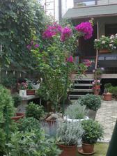 bougenvilea rastie ako diva a neunavne kvitne cele leto