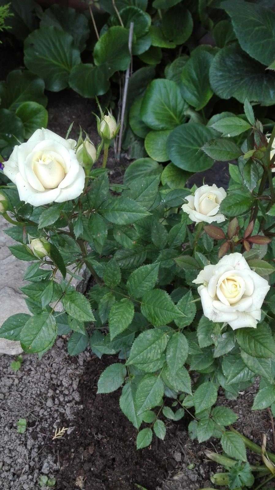 Zahrada - Obrázok č. 69