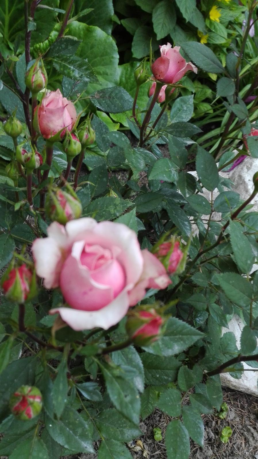 Zahrada - Obrázok č. 72