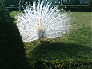 krásný bílý páv v zahradě zámku, kde bude svatba