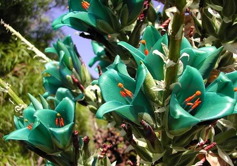 L & M 6. 8. 2011 - Našla jsem tyrkysovou kytku! Je to bromélie - Puya berteroniana :)