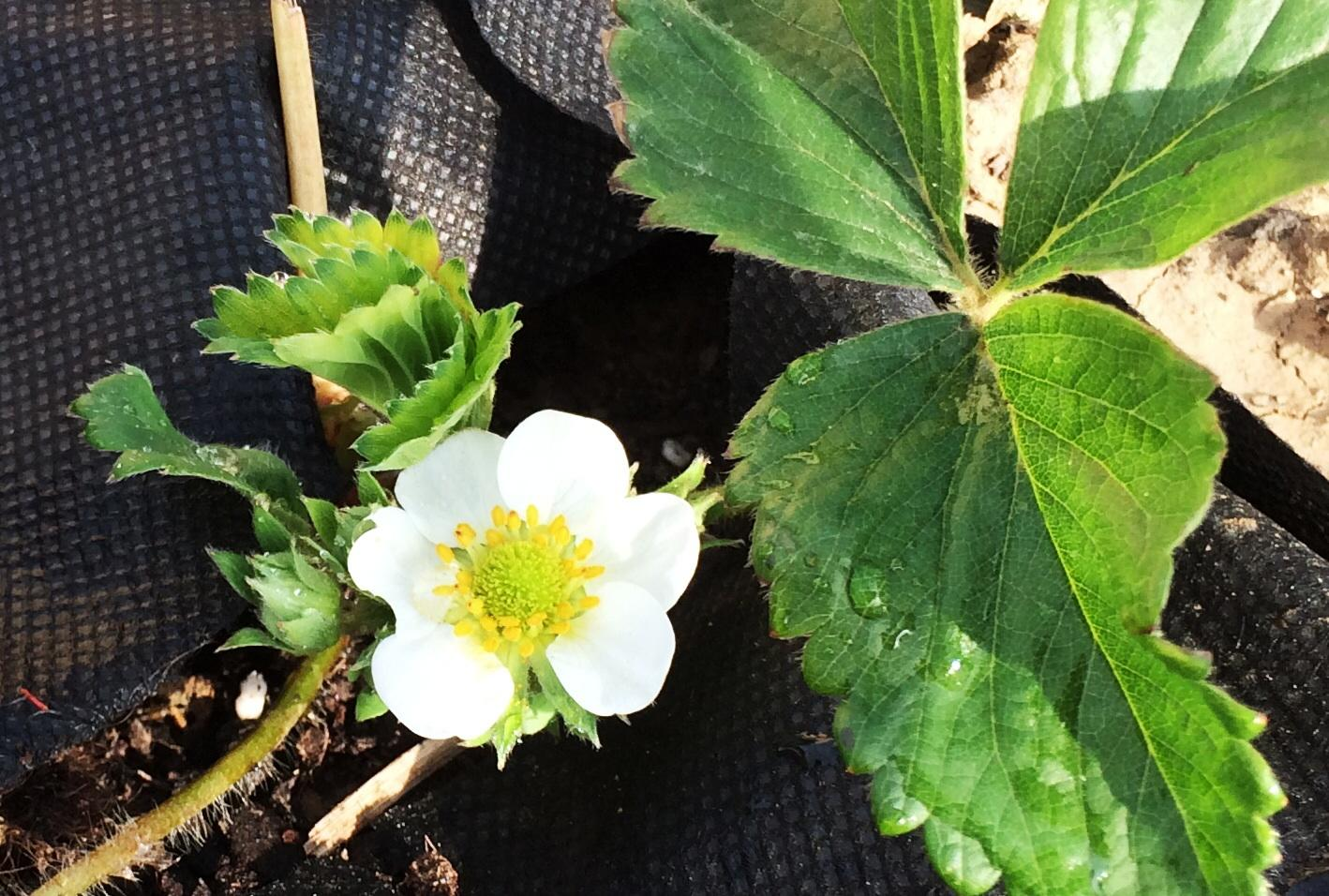 Zahrada- jak to vsechno zacalo.. - Uz na kvitne prva jahodaaa :)
