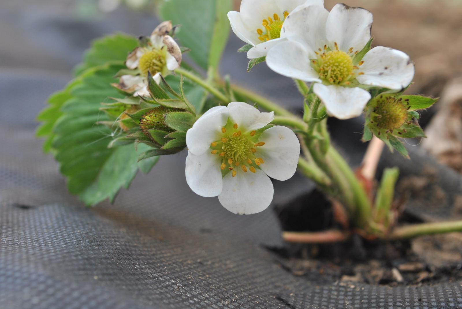 Zahrada- jak to vsechno zacalo.. - prve 'cosi' co vypada ako jahoda :)