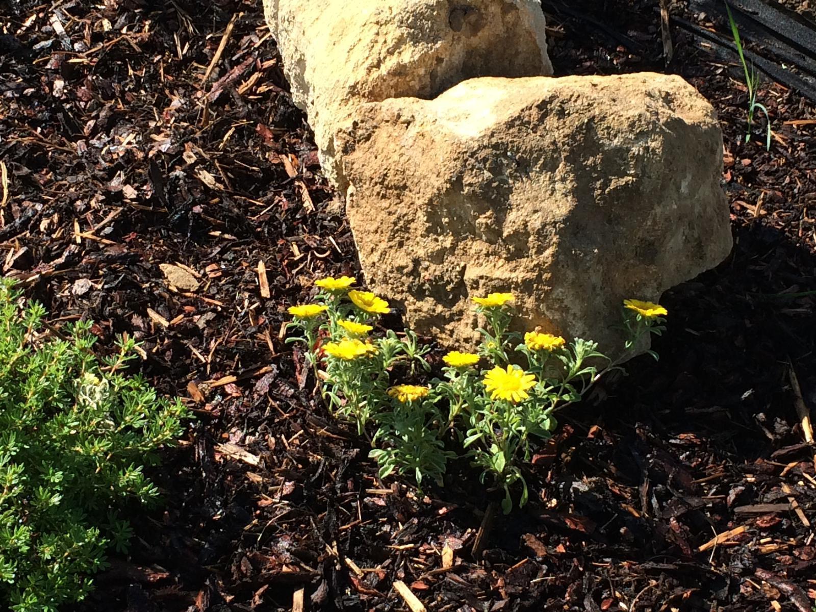Zahrada- jak to vsechno zacalo.. - vypadaju ako male slniecka, tak dufam ze sa im na slniecku darit bude :)