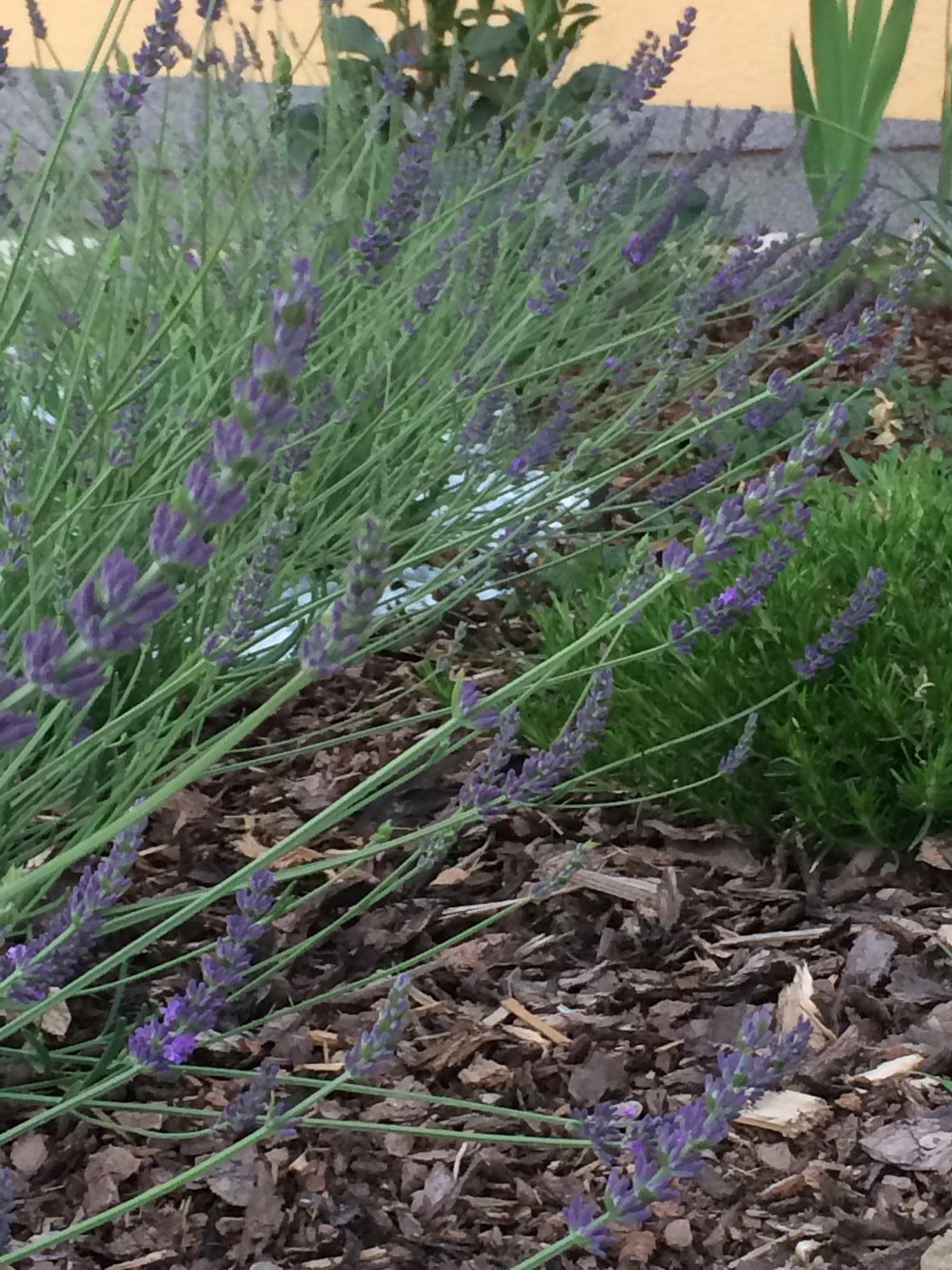 Zahrada- jak to vsechno zacalo.. - Levandulky rozkvitli :)