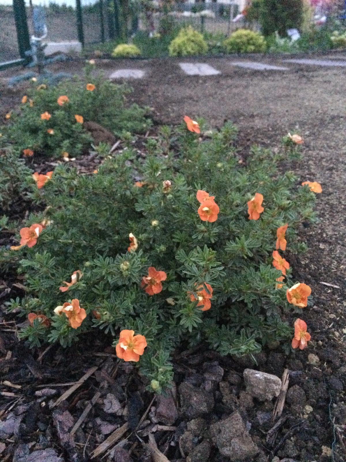Zahrada- jak to vsechno zacalo.. - Mochnicka nam zacina znovu kvitnut :)