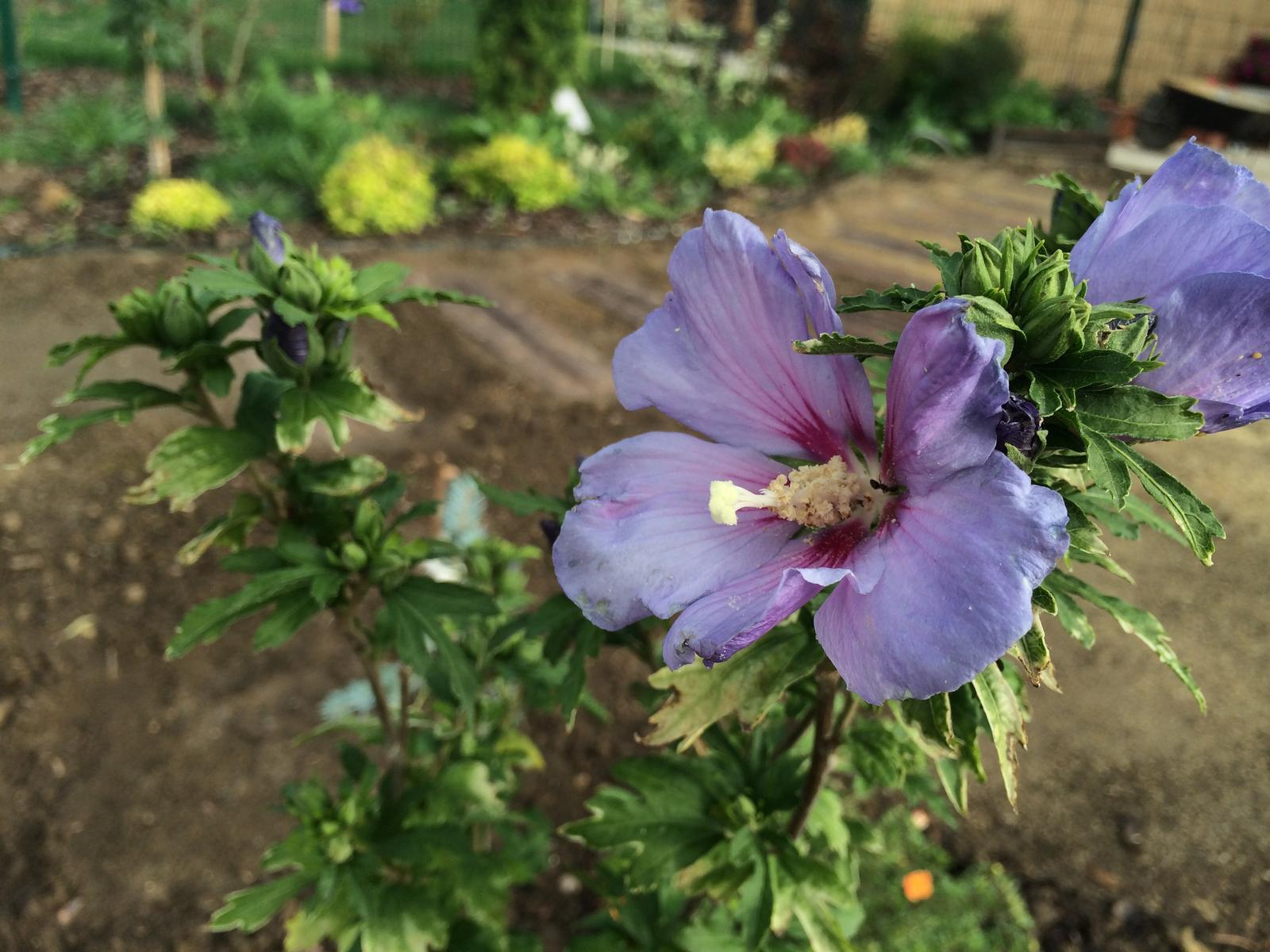 Zahrada- jak to vsechno zacalo.. - Ibistek tak nadherne rozkvitol :)