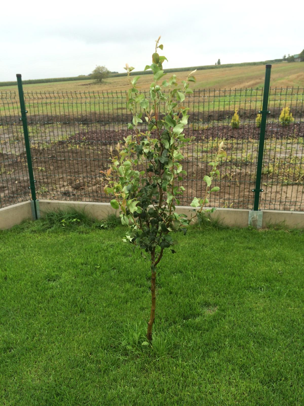 Zahradka nasa 2015 - Hruska sa krasne rozrastla