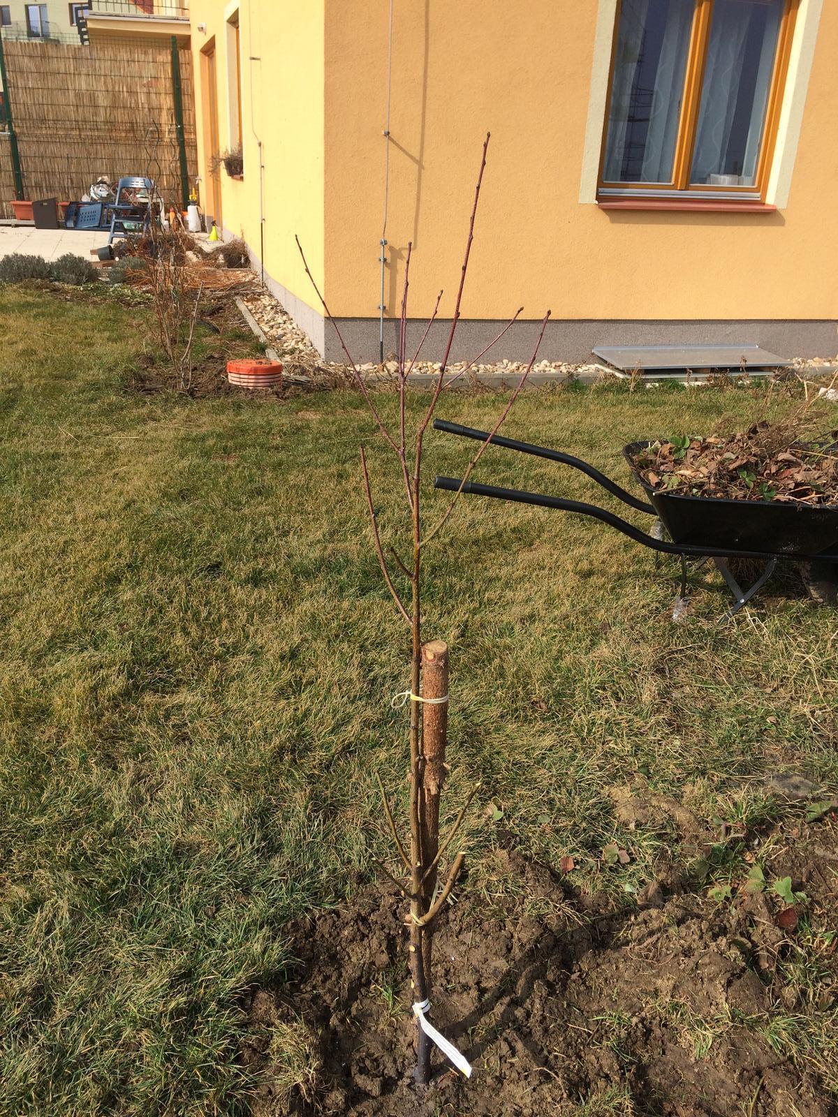 Zahradka nasa 2015 - Broskvon na miste :)