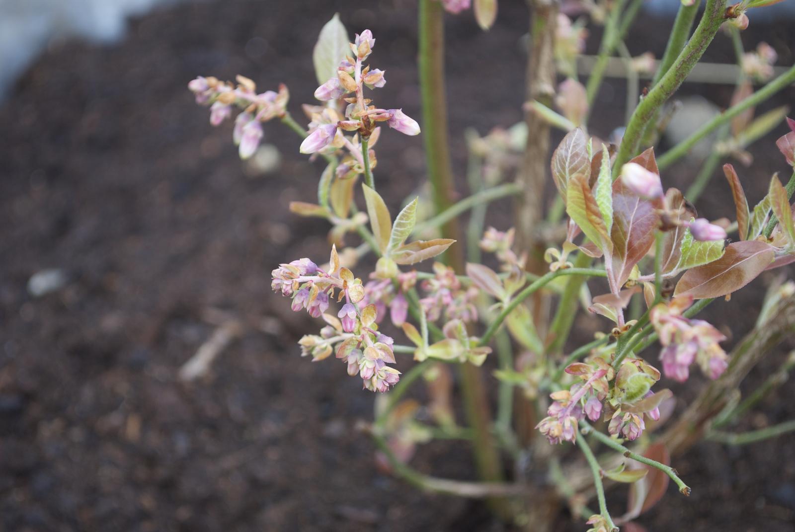 Zahradka nasa 2015 - boruvky :) jenom nevim, holky oc boruvky mate, jsou takhle na jare i lsitky takove fialove normalni?