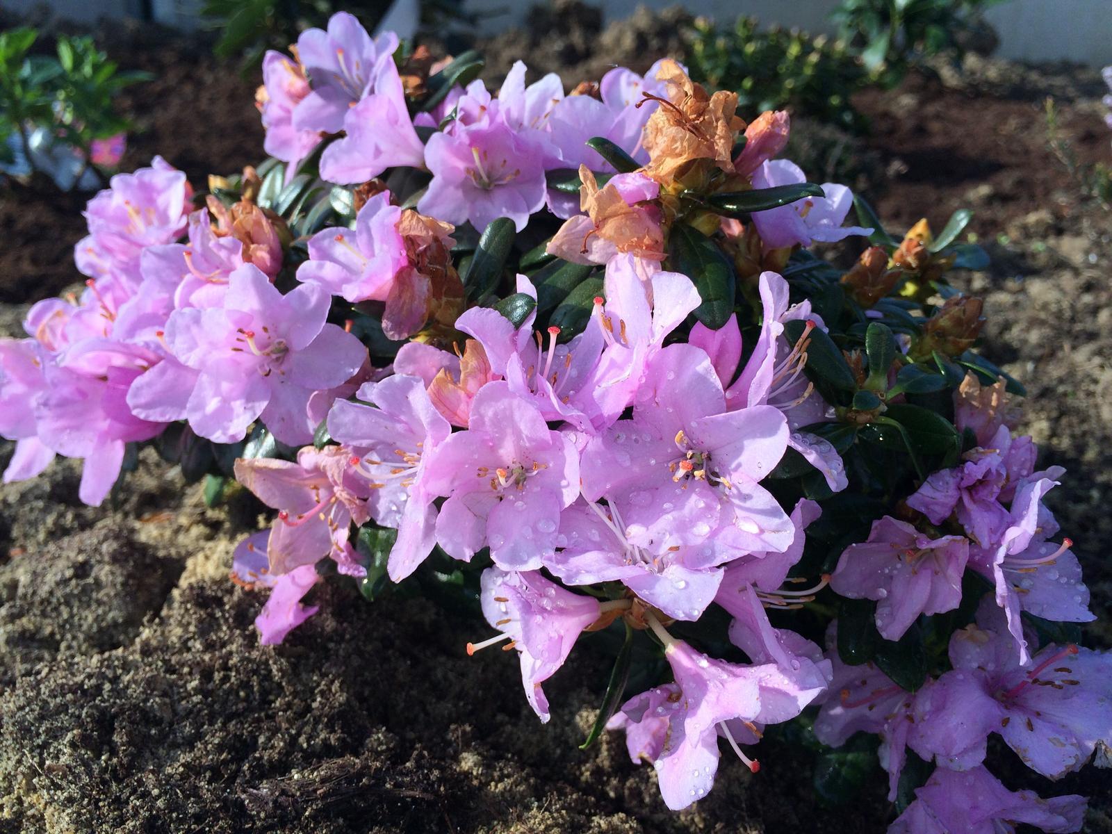 Zahradka nasa 2015 - zakrsly rododendron, krasne kvete :)