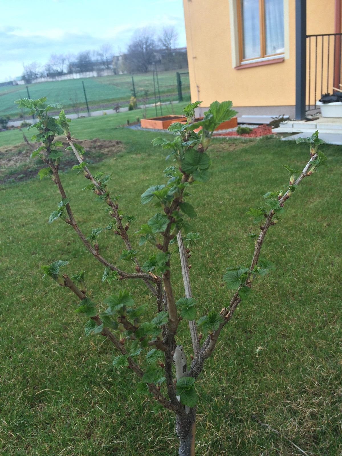 Zahradka nasa 2015 - Pre @lizaa rybiz z Lidlu...