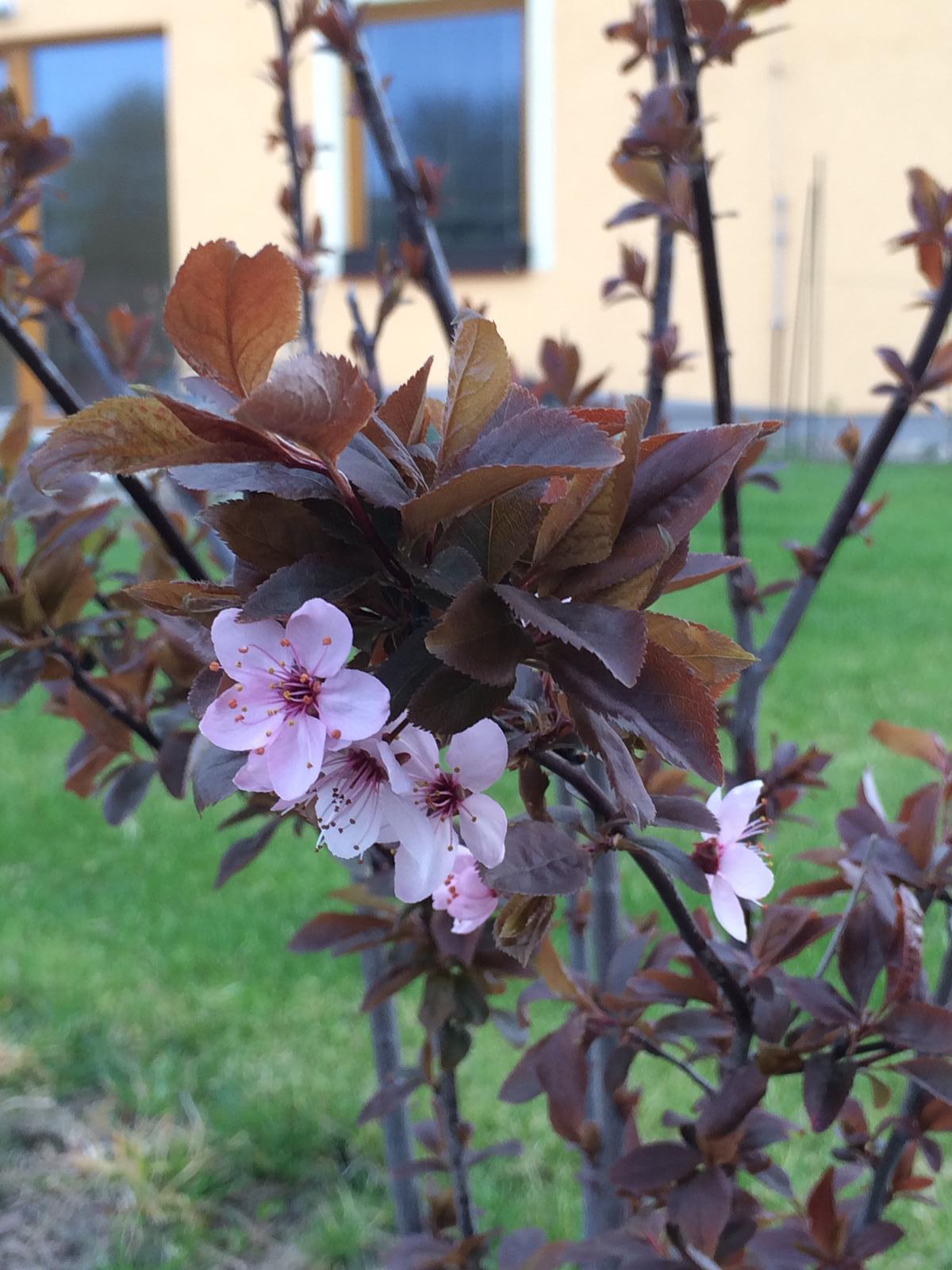Zahradka nasa 2015 - na tohle jsem cekala cely rok.. tyhle kvety jsem videla u sousedky, pak se kupoval stejny kerik, protoze jsem se do nej zamilovala, ale kvete az ted :)