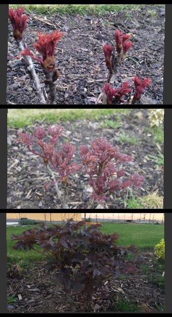 Zahradka nasa 2015 - ta pivonka roste silene :) ale mam radost pred rokem vypadala, ze umira..