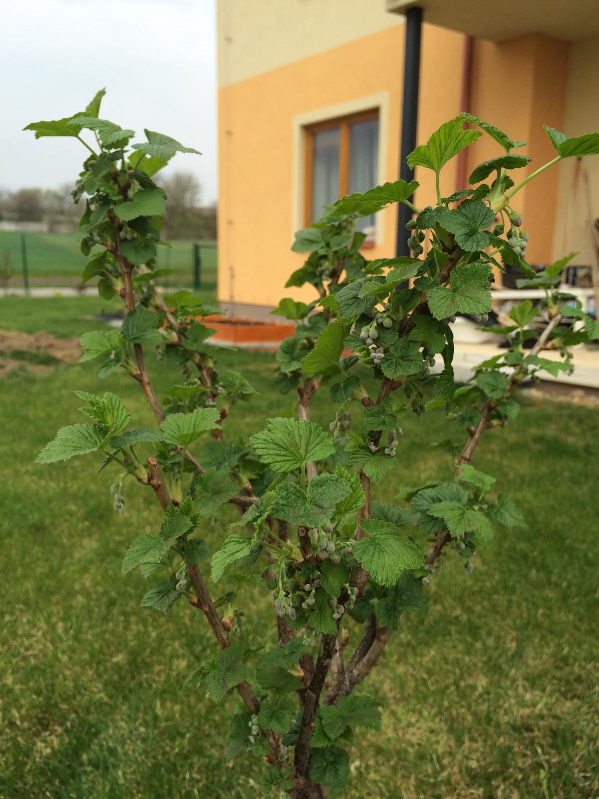 Zahradka nasa 2015 - rybiz se rozsoupl.. tech plodu.. to bude radost sbirat :D