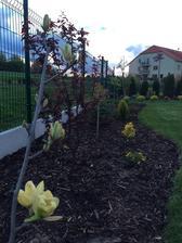 Magnolia zasadena