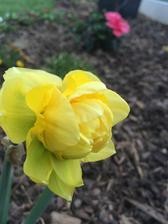 tak to vypada, ze som nezasadila tulipany, ale narcisy :D.. a vykvitli az ted :D