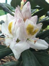 to jsem si tak koupila jenom rododendron na kterem bylo napsane, ze muze na slunicko a neresila jsem barvu.. a dneska rnao mne teda hodne prekvapil, jak je krasne vybarveny :) GOMER WATERER