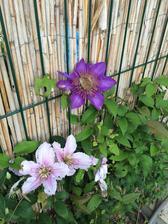 Vsechny kvety jsou pryc :( ale vyrostl mi novy fialovy :)