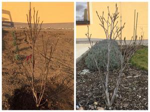 """Nasa """"Suzie"""" magnolia po 2 rokoch :)"""