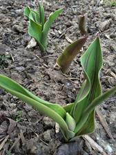 a dneska konecne prvy tulipan :)