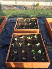 salaty, kvetak a brokolice.. snad do tretice se mi ten kvetak povede vypestovat :)