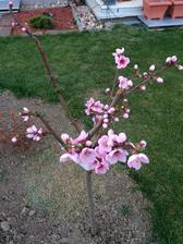 nakoniec aj na tej ostrihanej nektarinke zostalo kopu kvetov :)