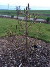 magnolia uz konecne zacina poriadne rozpukat :) napocitala som nieco okolo 34 kvetov :)