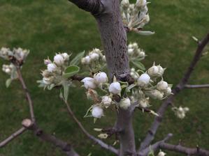 hruska c. 2 je plna kvetov :)