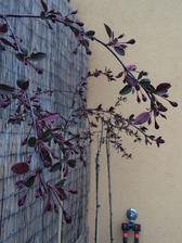 vsetky okrasne jablone na terase su plne pukov..