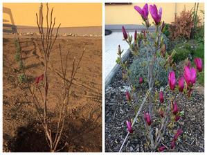 magnolia, ked sa kupila a dnes :) 2 roky a veeela kvetov rozdiel :)