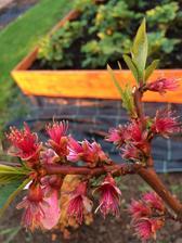 nektarinka uz odkvitla, tak uvidime kolko plodov bude :)