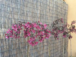 Sakura po nasom ( okrsna jablon)