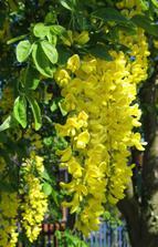 jarné rastliny : snežienky, narcisy, tulipány, hyacinty a rozkvitnuté vetvy bahniatok, zlatého dažďa, čerešne a podobne.