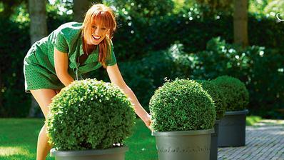 Buxusové koule, wow. Pěstuju zatím 3 malé, tak uvidíme :-)